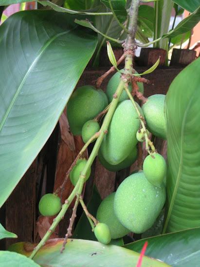 Green Mangoes in Malaysia