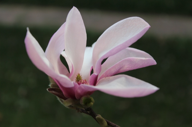 Magnolia blooming in the yard.