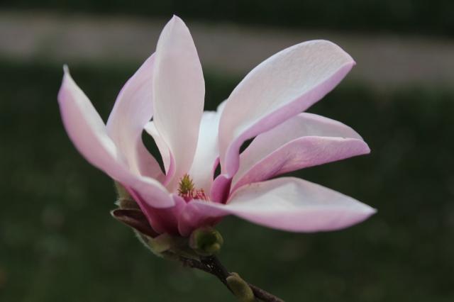 Magnolia blooming in the yard.