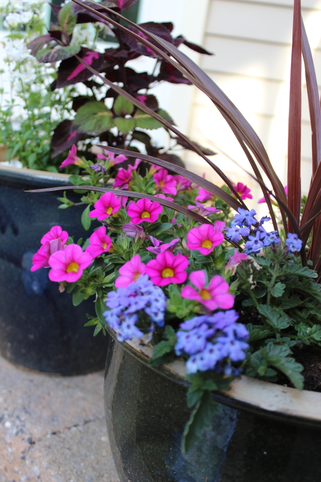 Pots for the patio: mixing up petunias, coleius and dragon grass.
